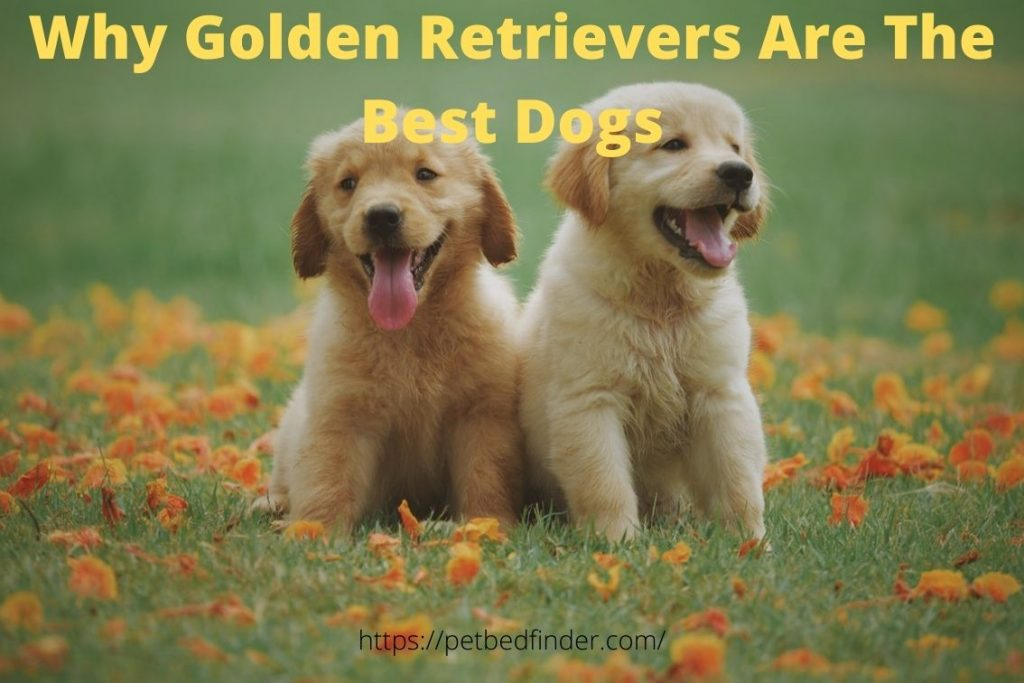Why Golden Retrievers Are The Best Dogs